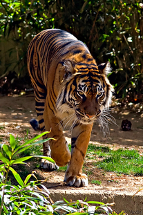 basic facts about the bengal tiger This reading comprehension includes some interesting facts about the bengal  tiger with accompanying study questions.